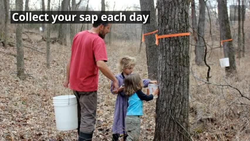 d466e899da0 How to Tap Black Walnut Trees for Syrup